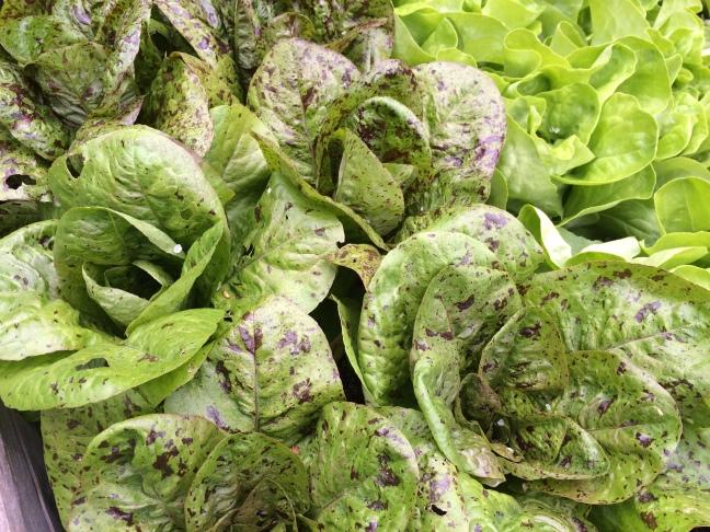 Salat Forellenschluss
