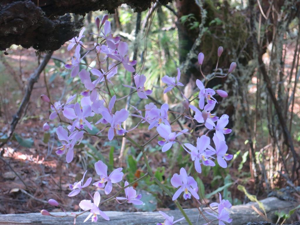 In den Bergen der Sierra Norte auf ca. 3.000 Meter Seehöhe wächst diese Schönheit.